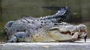 Krokodil-met-hand