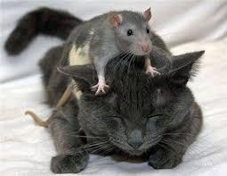kat met muis