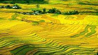 Wijsheid van de rijstvelden