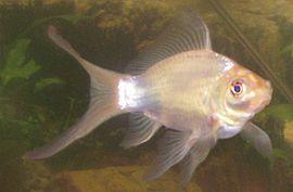 witte_goudvis